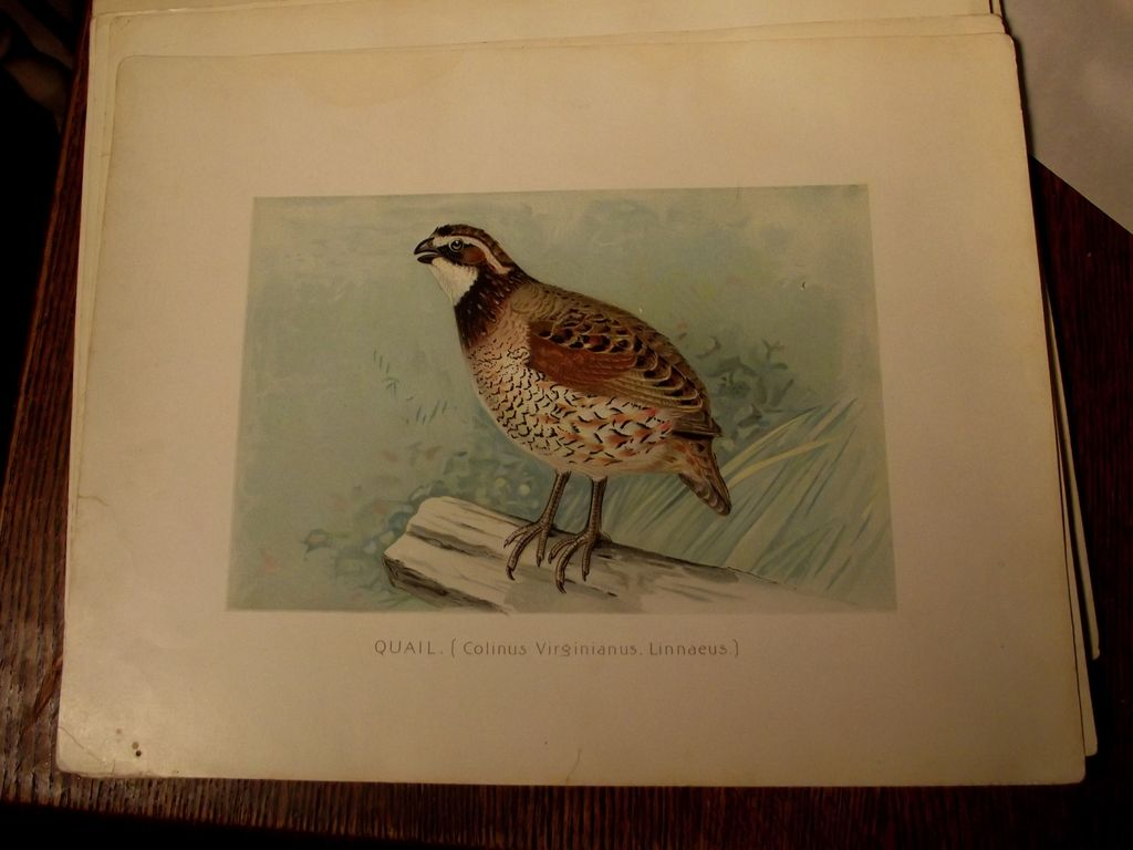 Early Nature Prints Birds