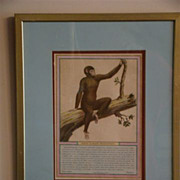 Antique hand colored print monkey Pongo O Grand Orangotano
