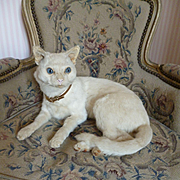 Rare vintage taxidermy creamy white pussy cat : blue glass eyes : gold colored collar