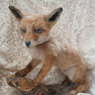 Adorable vintage taxidermy fox cub with blue eyes