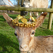 Adorable old taxidermy or stuffed kid goat with glass eyes mounted on wooden plinth : foil crown