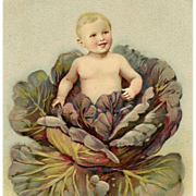 Embossed Postcard of Baby Sprouting from Purple Cabbage