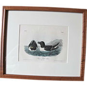 Razor Billed Auks Audubon Limited Edition Bowen Plate 466 Framed c1800's