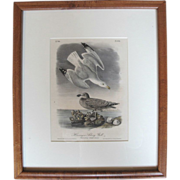 Hand Colored John Audubon Bowen Limited Edition 19th Century Plate 448 of Herringer Silvery Gull