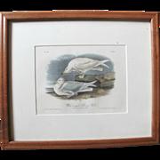 John Audubon 19th Century Bowen Limited Edition Antique Plate 447 of White Winged Silvery Gulls