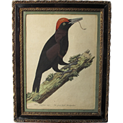 Georgian Antique 18th C Print Coloured of a Woodpecker Bird English in Original Hogarth Frame