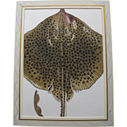 Watercolour Watercolor of a RAY (fish) by Charlotte Knox the English Illustrator and Artist