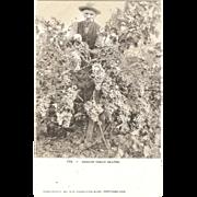 "Postcard ""Oregon Tokay Grapes"""