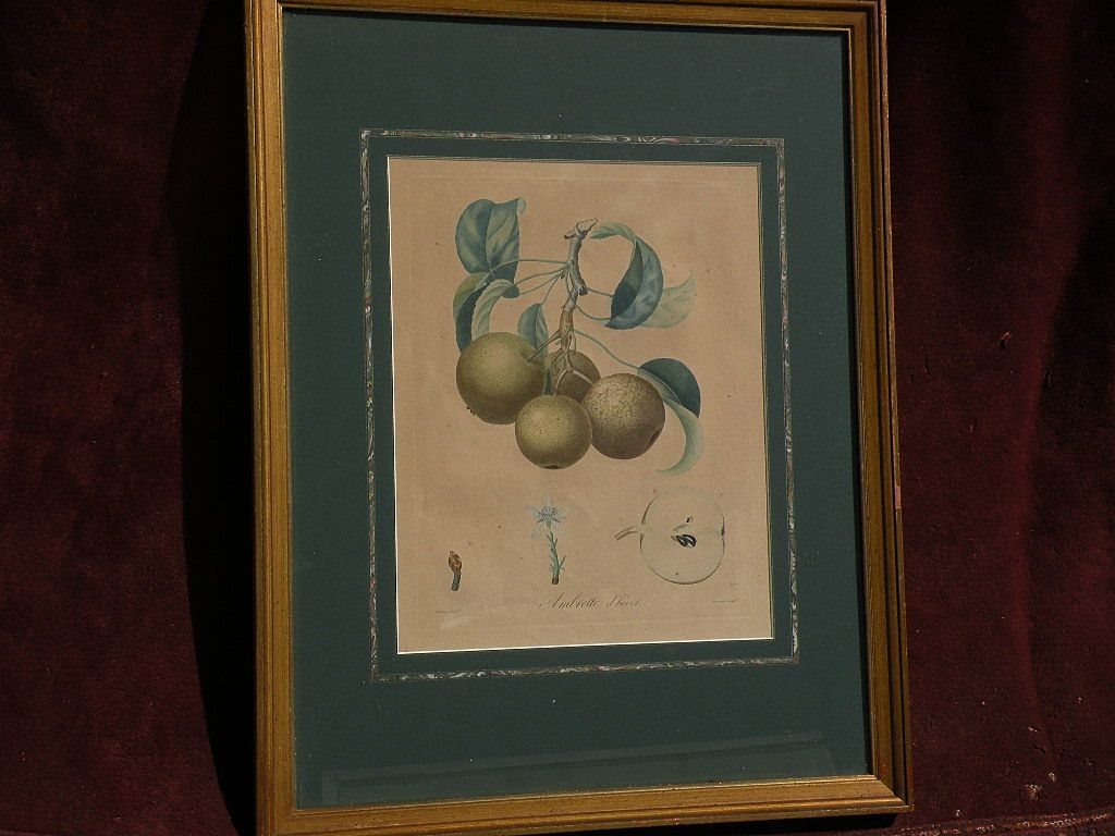 French 18th/19th century botanical illustration engraved hand colored print by noted illustrator PIERRE ANTOINE POITEAU (1766-1854)