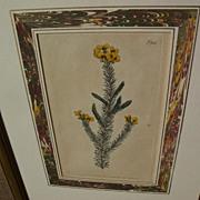 Botanical art original 1806 hand colored engraving print after Sydenham Edwards (1768-1819)