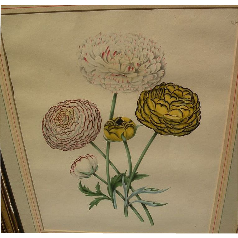 Old 19th Century Hand Colored Botanical Print In Distressed Gold Frame