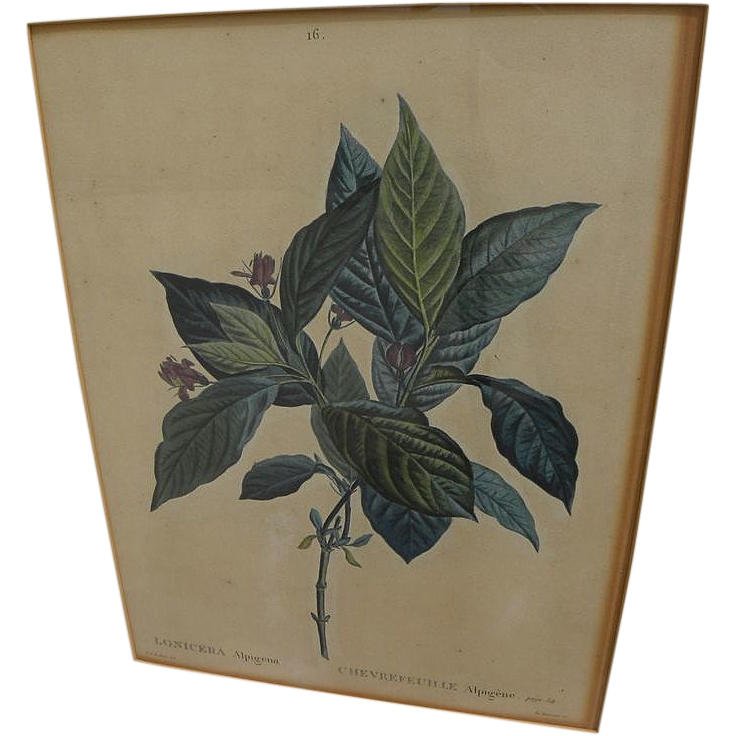 After PIERRE-JOSEPH REDOUTE (1759-1840) botanical art hand colored stipple engraving print