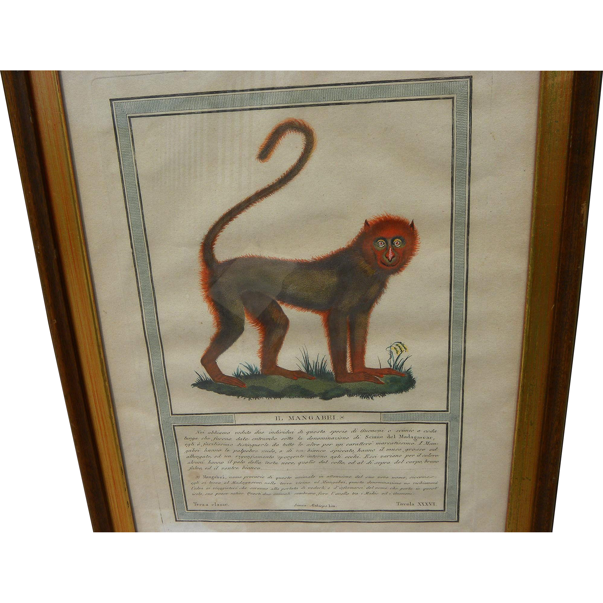 Decorative antique hand colored engraving of an old world monkey by LUIGI RADOS (1773-1840)