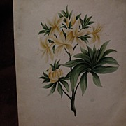 19th century American art botanical drawing extremely detailed
