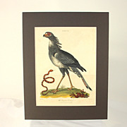 """Hand colored engraving """"The Serpent Eater"""" dated 1803"""