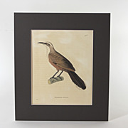 Hand colored 19th C bird engraving, Pomatorin Tribande, rare bird