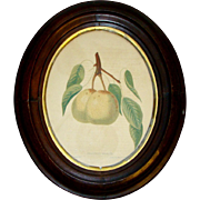 Antique PEAR FRUIT Color Engraving Book Plate, Dearborns Seedling, Oval Walnut Frame