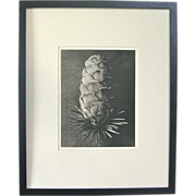 Blossfeldt Photogravure:  Larix Decidua