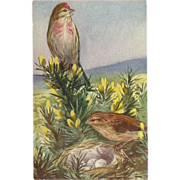 Medici Bird Series Postcard of Linnet by Mainzer
