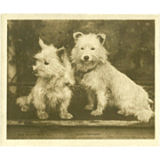 Miniature 'Midget' Rotary Photo Postcard of Skye Terriers