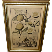 Borghese Volckamer Botanical Print in Lemon Gold Frame - 1 of 2