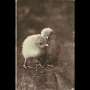 C.E. Bullard 1906 Undivided Photo Postcard of Two Chicks
