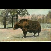 Vintage 1910 Postcard of Yak at the Buffalo NY Zoo