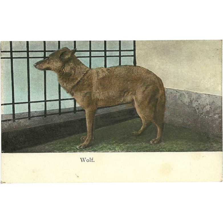 Austrian Undivided 1909 Postcard of Wolf