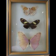 Natural Butterflies Framed Under Domed Glass