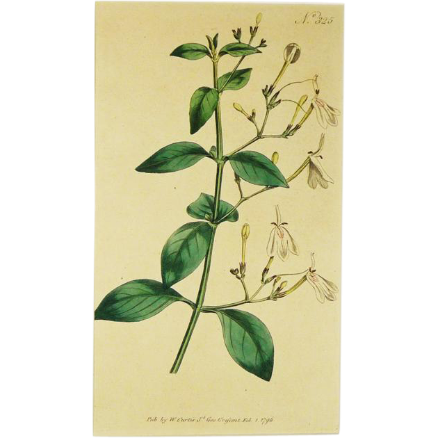 Antique Botanical Print 1796 Curtis Botanical Magazine Matted With Backboard