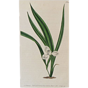 Curtis Botanical Print Plate No. 646 Marsh Marica With Mat 1803 Original Engraving