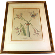 Botanical Engraving Hand Colored Amaryllis Vittata  19th Century German Plate 1805