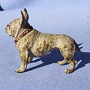 Vienna bronze white French Bulldog