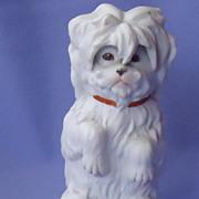 Heubach Silky  Maltese terrier Germany