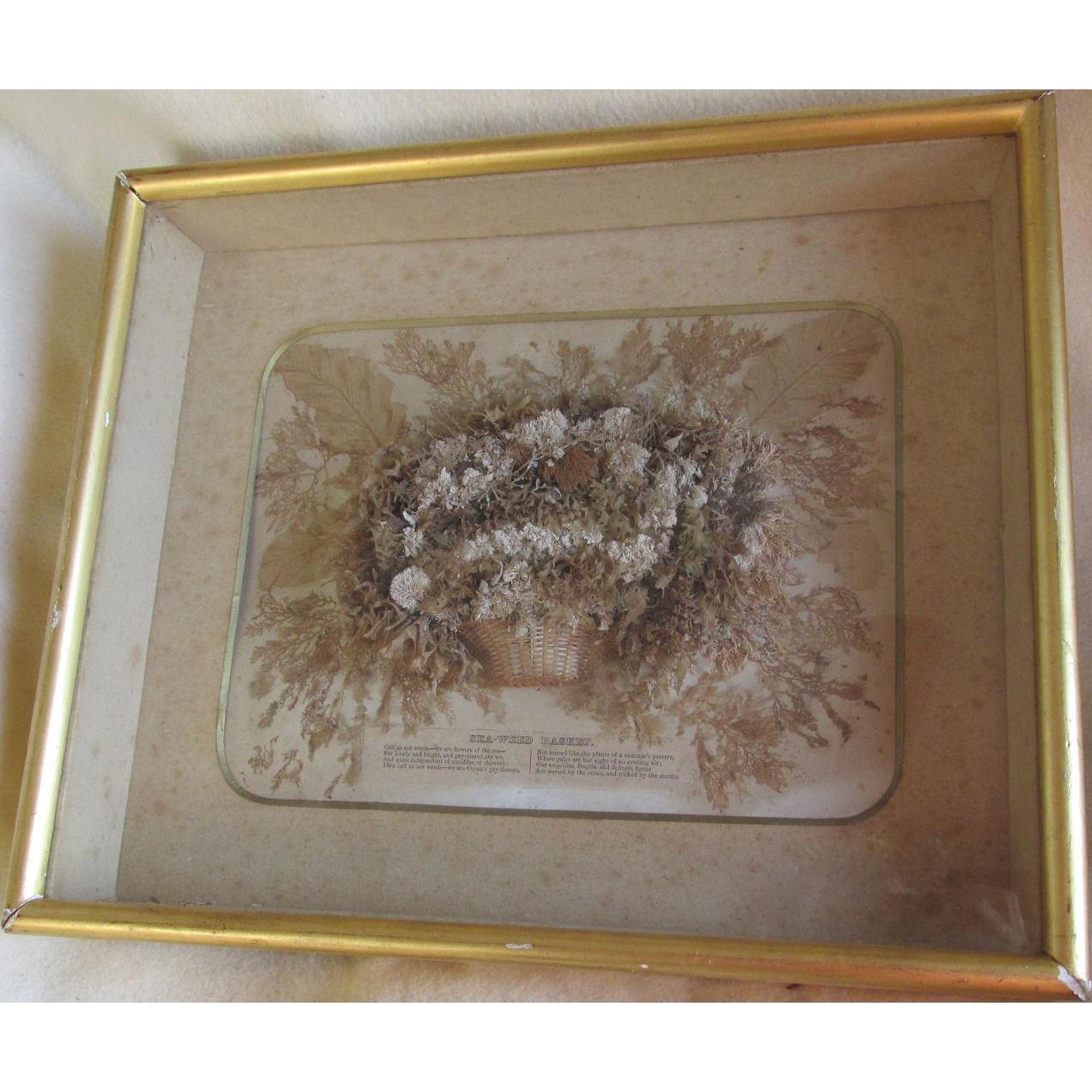 Rare 19thC Seaweed Specimen Basket in Shadowbox Frame
