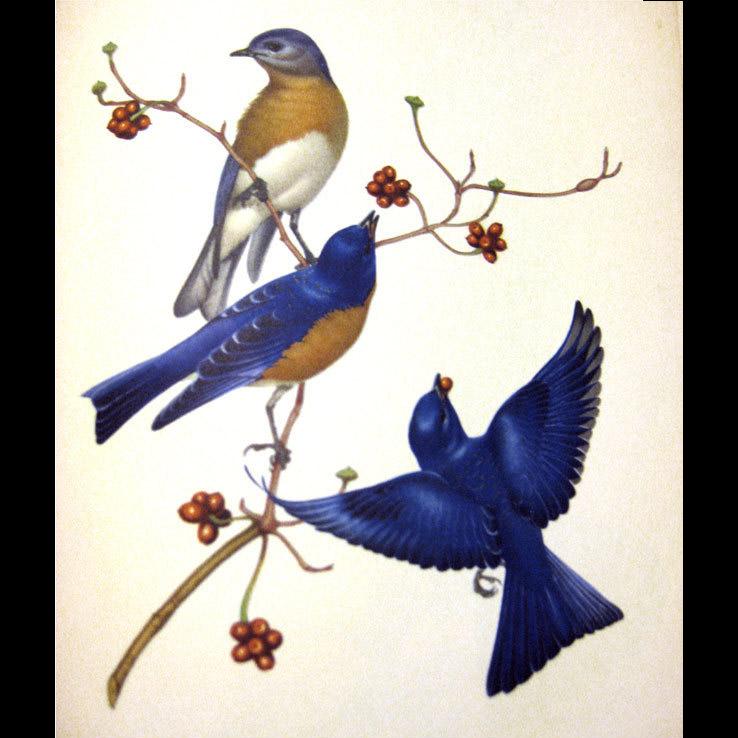 Menabonis Birds Vintage Bird Naturalist Book / Vintage Art Book / Gift Book / Nature Book / Audubon Book