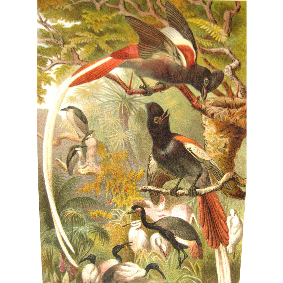 1885 Chromolithograph Bird Print by Louis Prang Paradise Flycatchers / Home Decor / Wall Hanging / Office Decor