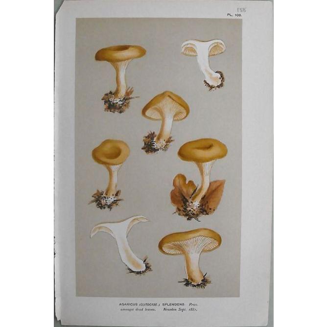 Mushroom Study Chromolithograph  Print  Circa 1881