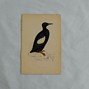 Morris Bird hand colored engraving      Circa 1878