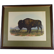 "The Classic Audubon "" American Bison "" Vintage Lithograph  Print,  Framed, Excellent Condition"