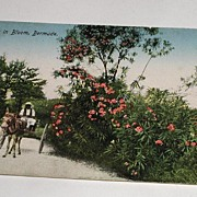 Vintage Early 1900s Postcard Oleanders In Bloom, Bermuda Rutherford Native & Horse Mule drawn Cart Postally Unused
