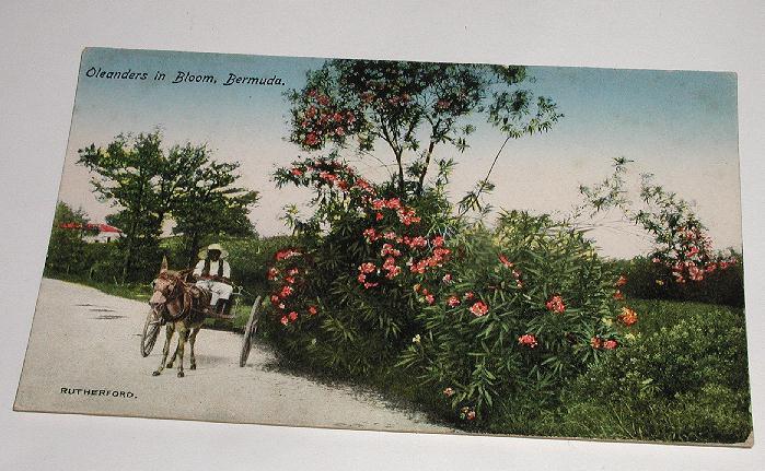Vintage Early 1900s Postcard Oleanders In Bloom, Bermuda Rutherford Native & Horse Mule drawn Cart Postally Unused