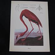 Vintage Audubon Flamingo Bird Print