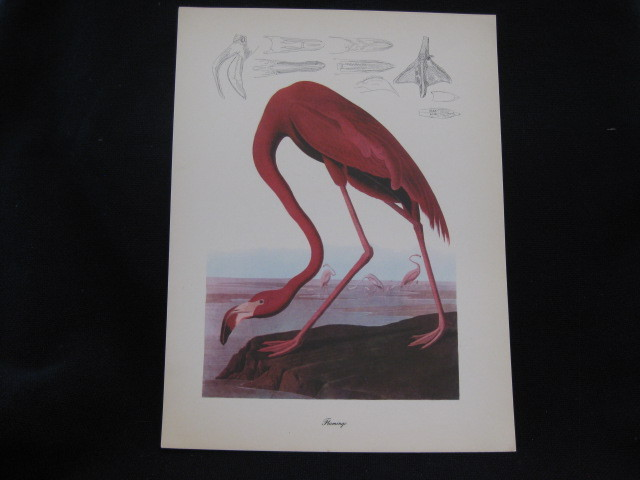 Vintage Audubon Flamingo Bird Print SOLD on Ruby Lane