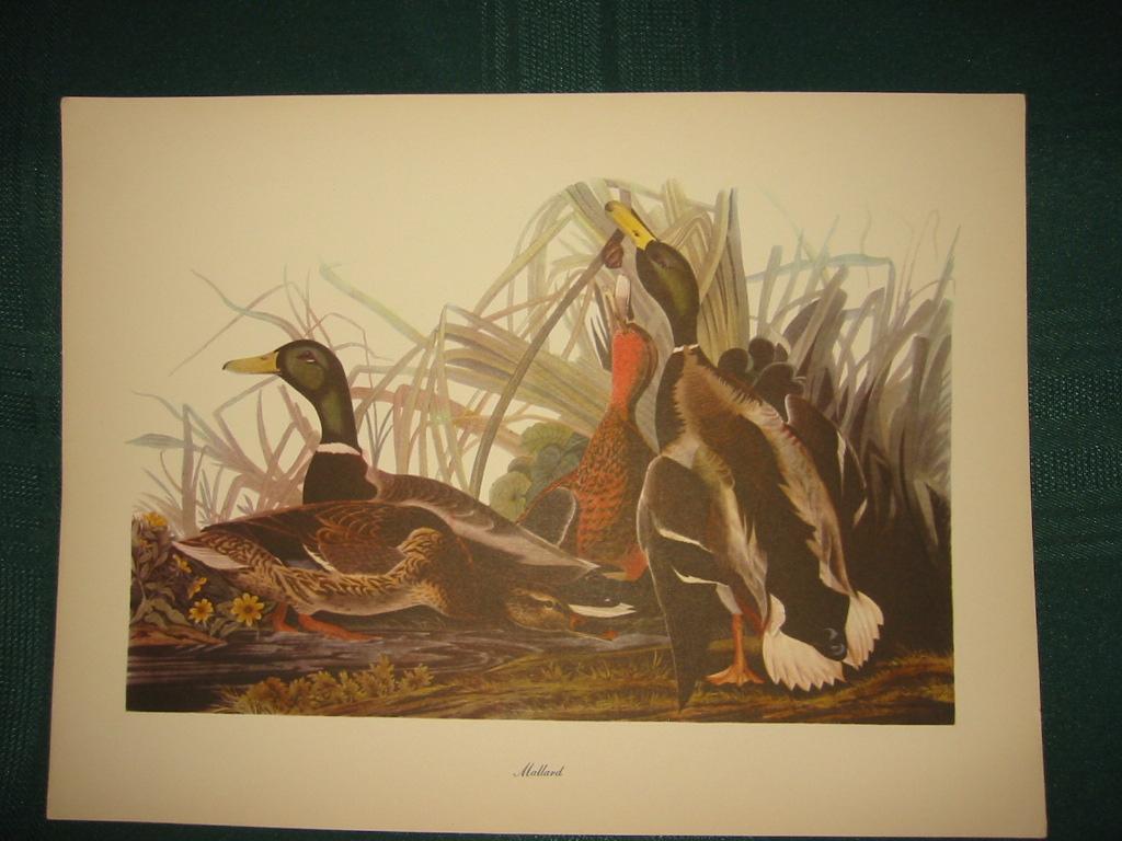 Vintage Audubon Mallard Bird Print