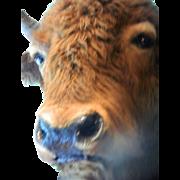 Amazing-large Buffalo head and shoulders-Mounted