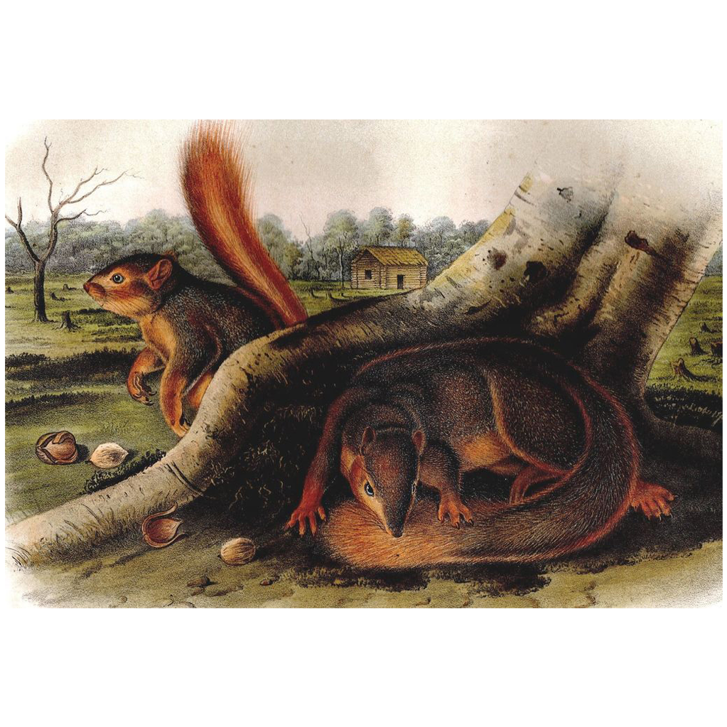 Jay's Squirrel by John James Audubon - Original Lithograph