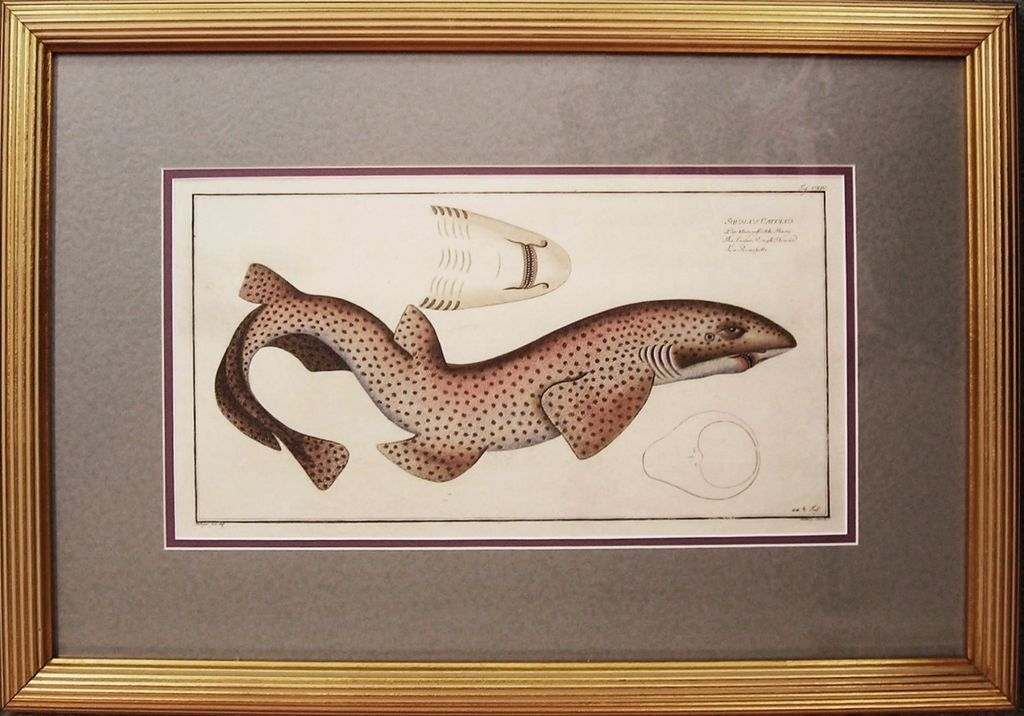 Original Antique Engraving of Shark by Bloch, circa 1785 - 1797