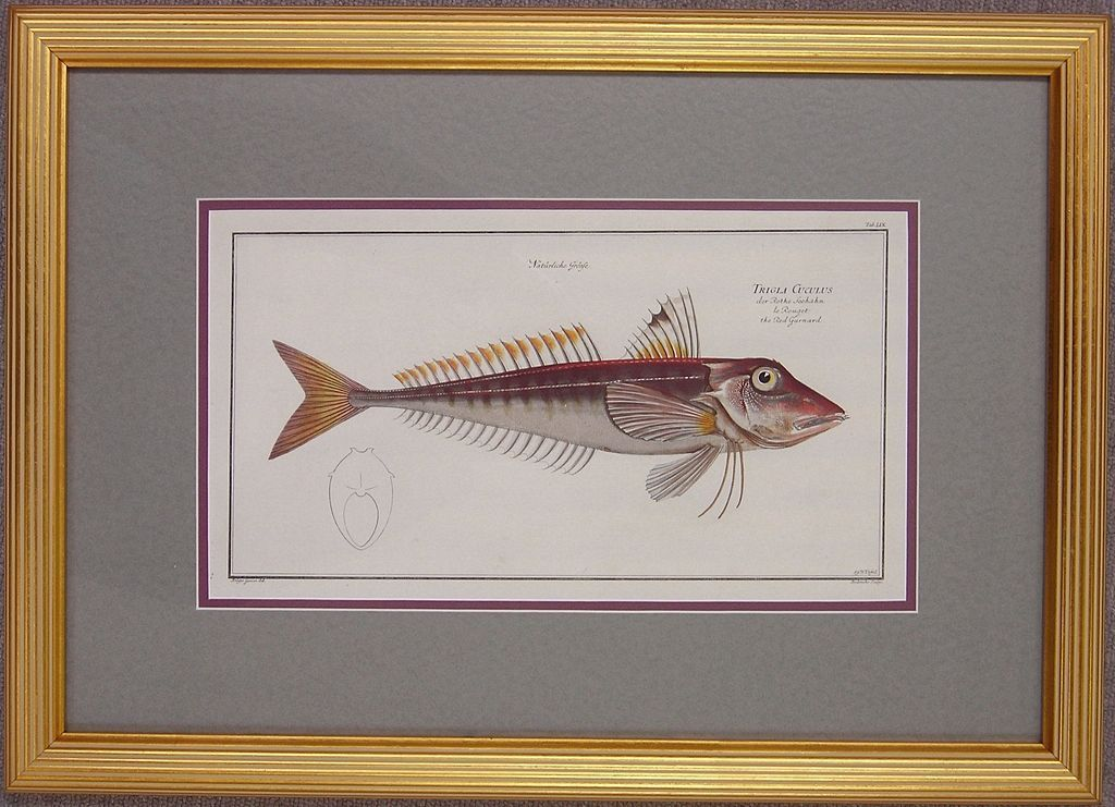 Original Antique Engraving of a Fish by Bloch, circa 1785 - 1797