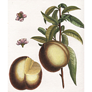 """Pavie de Pomponne"", Botanical by Claude Aubriet (Fr: 1665-1742)"